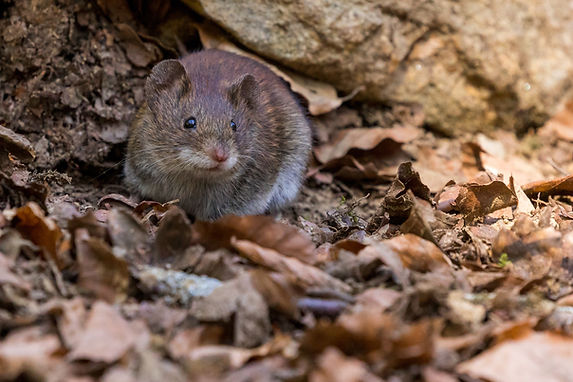 rodent control in cleveland