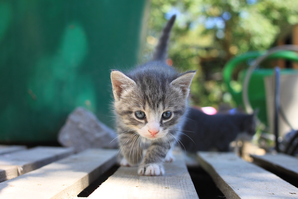 baby kitten taking a walk on the deck