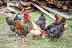 Chicken feeding Trenewydd