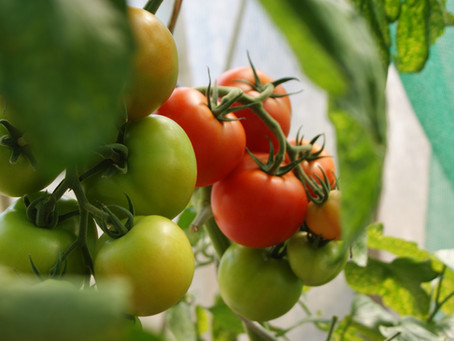 4 Steps to Starting Peppers and Tomatoes from Seed