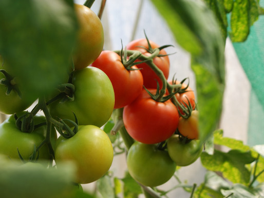 No space for a garden? No worries. You can grow tomatoes on your porch