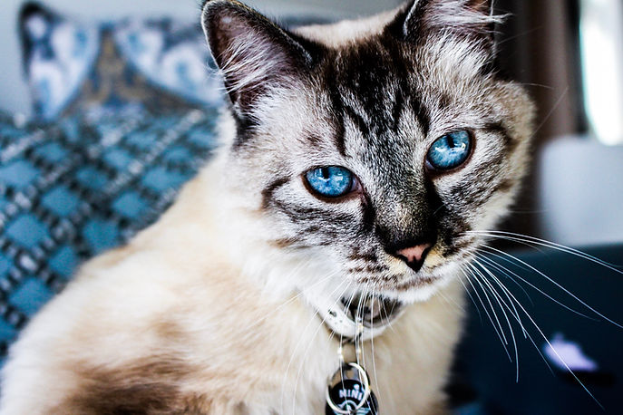 Siamese cat with blue eyes wearing collar at home