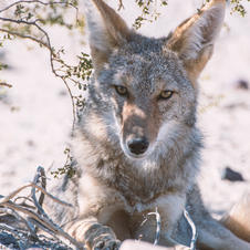 March: Coyote