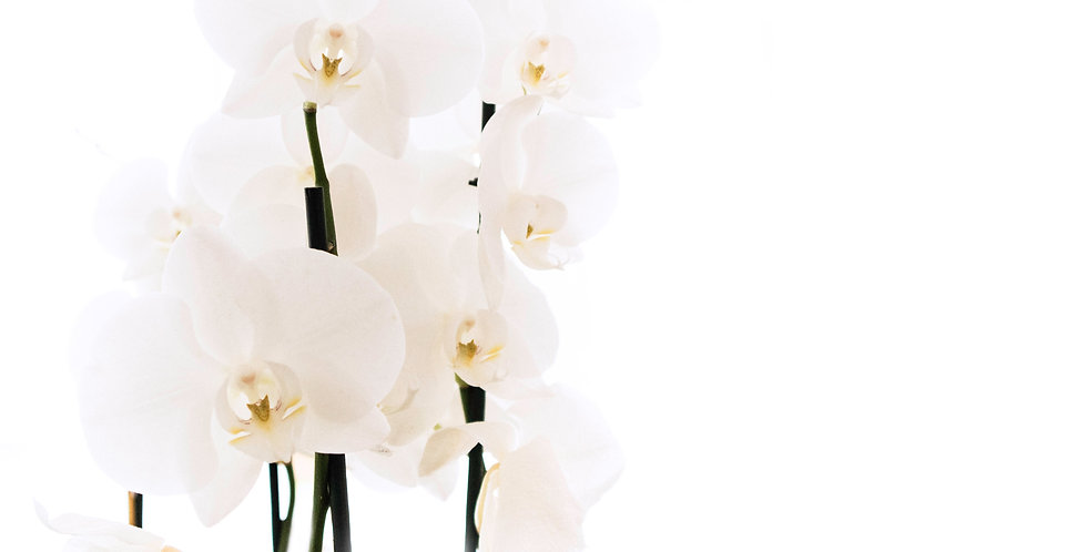 Double Stem Phaelaenopsis Orchid - WHITE
