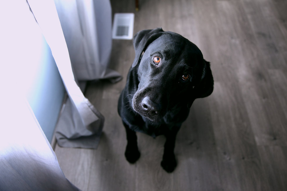 black dog looking up into camera