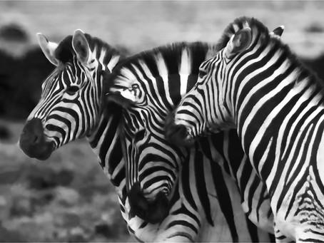 Why a zebra?