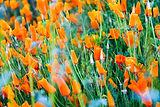 Califorina Poppy-  Eschscholzia Californica