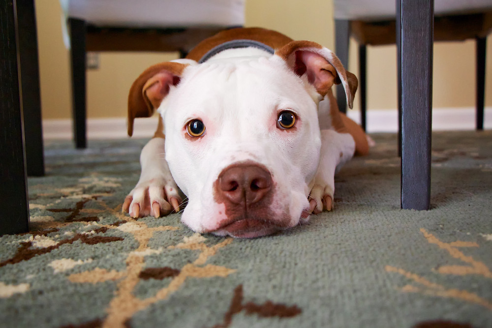 Dog smiling lying down on the carpet