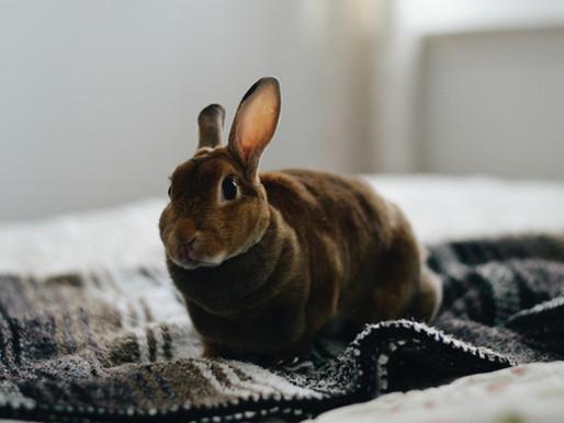 La pododermatite chez le lapin