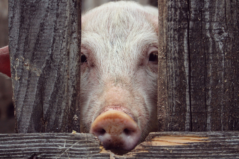 Image of pig snout through a fence