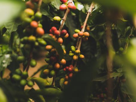 世界上第一個發現咖啡的是....