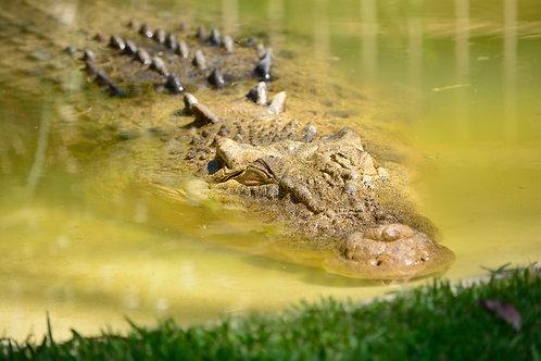 Crocodiles: Habitat, Prey, and Behaviors
