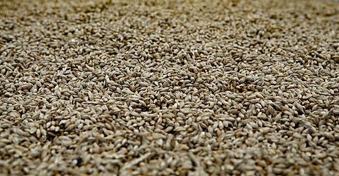 Managing Malt Genetics for Feed End-use