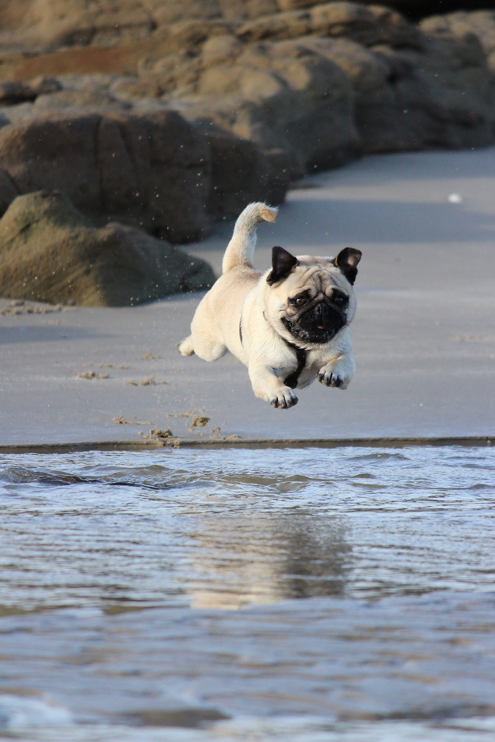 healthy pug jumping on beach