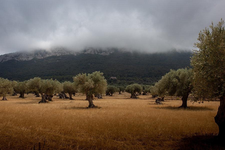 The olive trees of Puglia