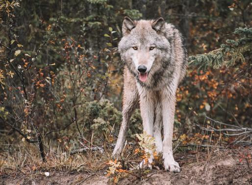 L'Italie veut interdire l'abattage des loups