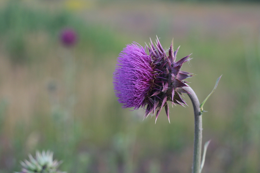 A Thistle in Scotland