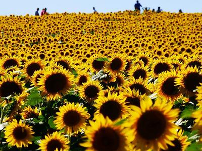 """Unsplash photo """"Sunflower Hug"""" by Laura Gilchrist"""