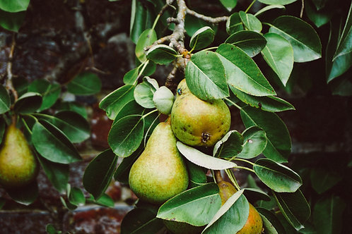 Conference Pears each