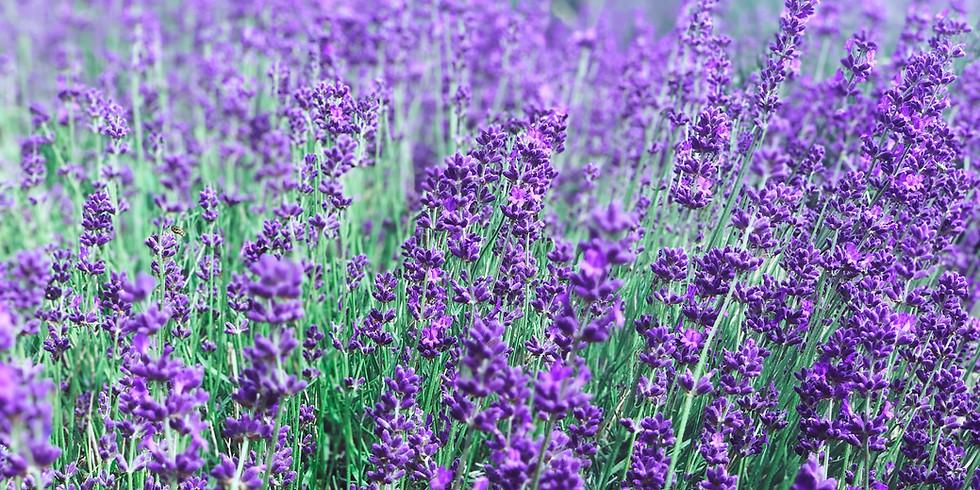 Kent's Lavender Farm - Delightful Scents and Purple Carpets - Castles and Deer