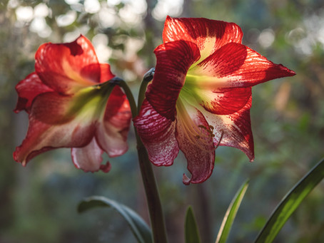 Amaryllis- The Magical Christmas Bulb