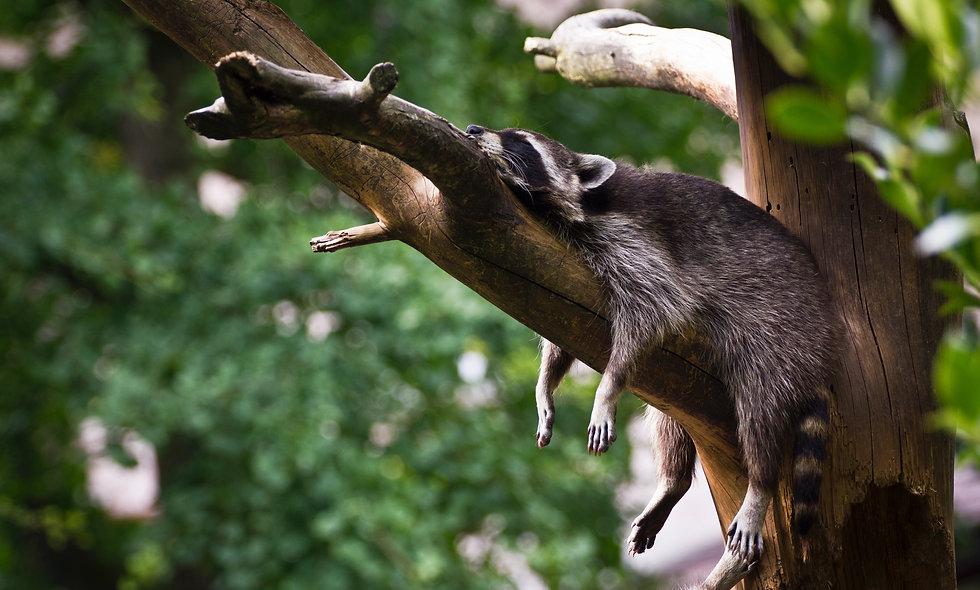 Raccoons Use Rulers