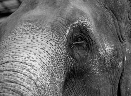 Éléphants à touristes : Le dressage cruel montré en images