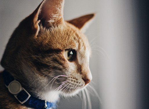 A Treatment for Cats is Being Investigated for SARS