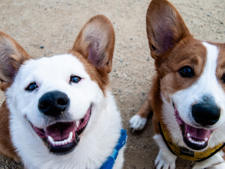 CBD Oil for Dogs and the Benefits