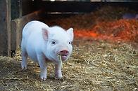 baby piglet eating hay