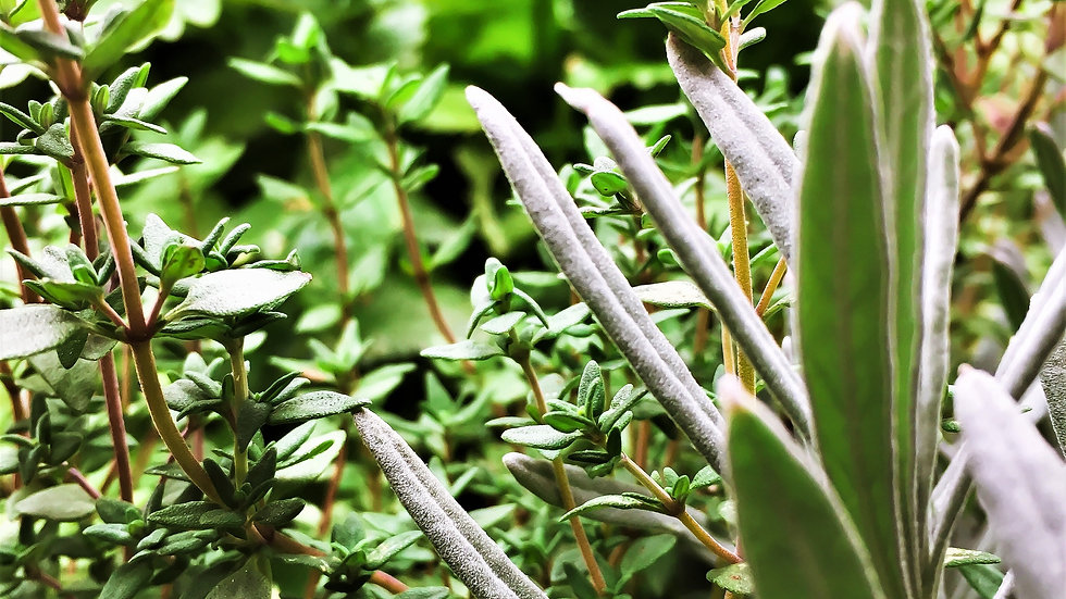Thyme, Rosemary, or Sage bunches