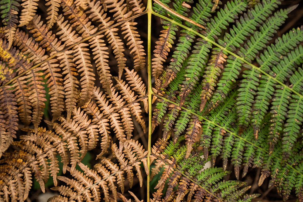 Fern leaf, onside dead and brown, the other alive and green