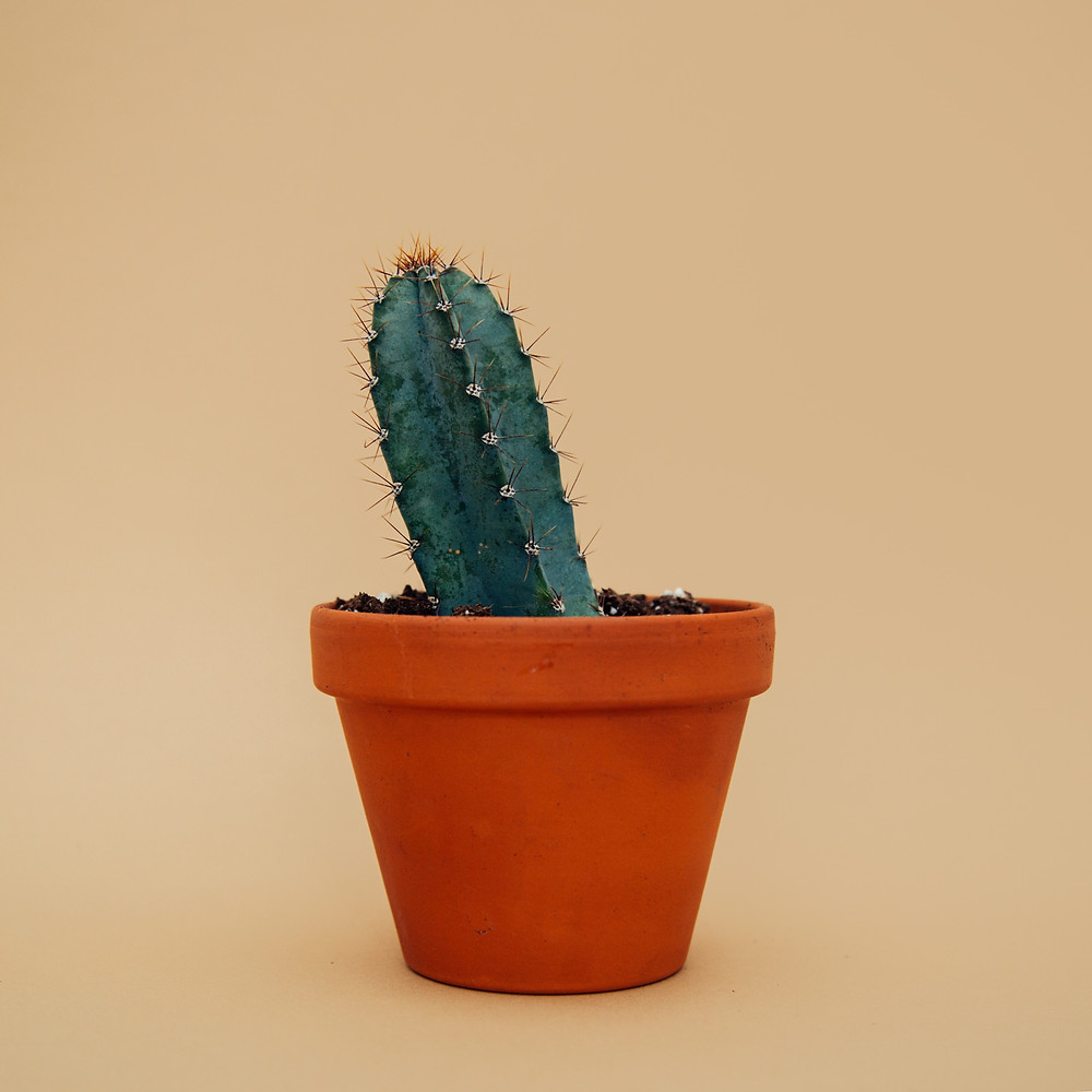A squinty cactus in a terracotta pot