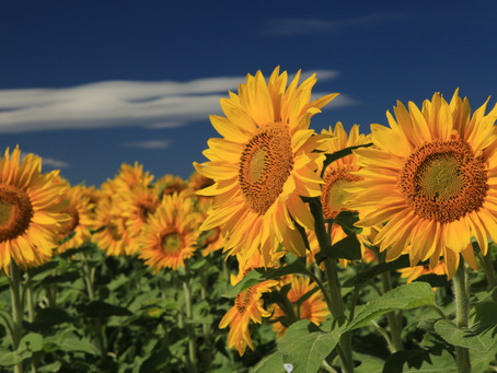 Fancy growing sunflowers this year?