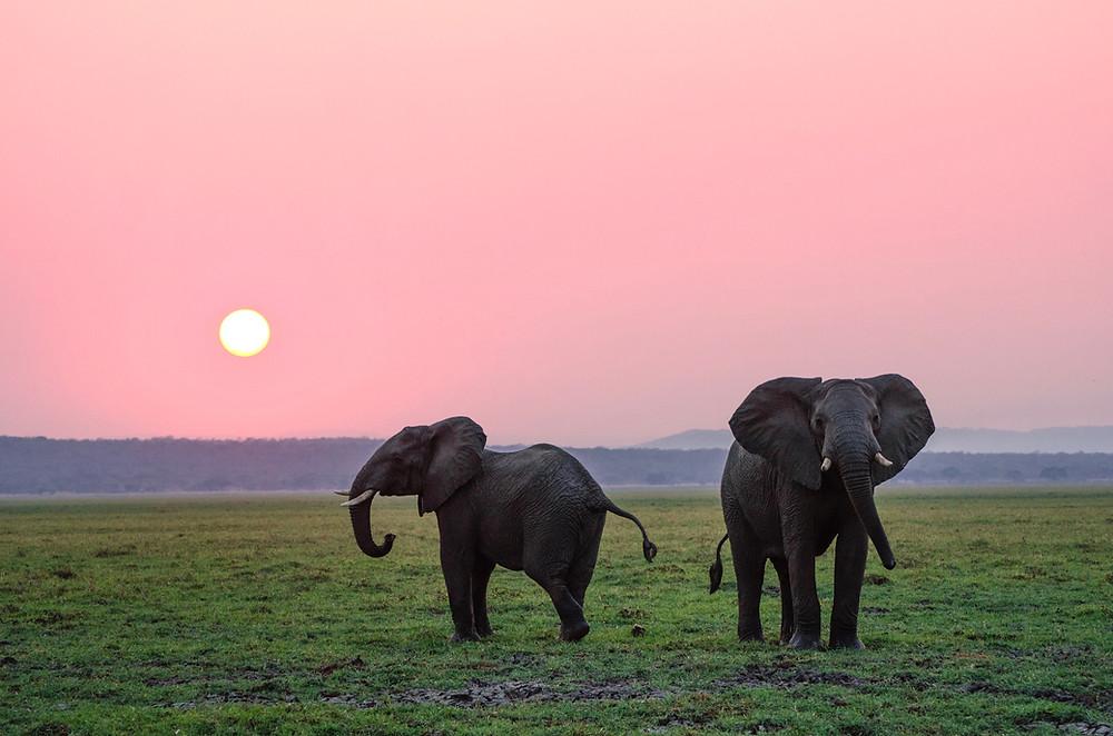 Two elephants at sunrise