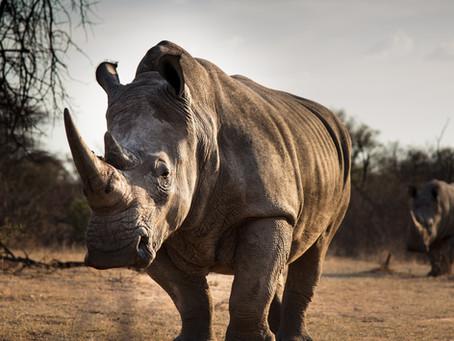 The 5 Amazing Species of Rhinos