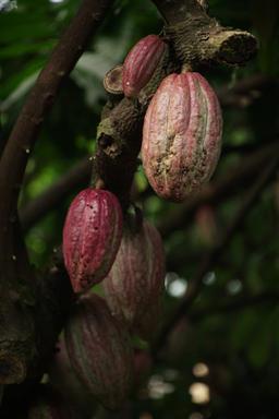 ♥Kakaobønnen er et opptil 20 cm langt gulrødt bær – nesten som en rugby-ball eller honningmelon.