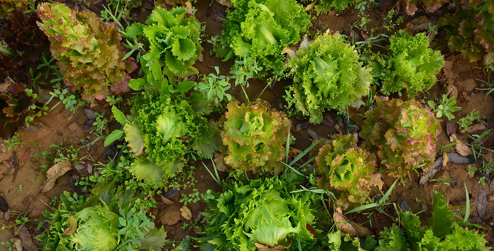 Lettuce- Mixed Variety 6-pack
