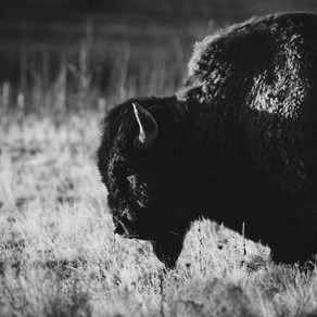 Communication animale intuitive : message du Bison.