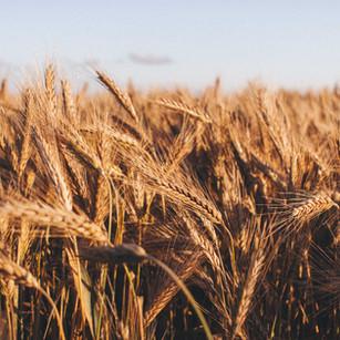 The International Wheat Yield Partnership's Goal to Combat World Hunger