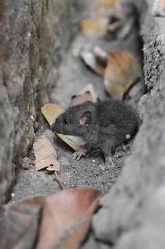 ابادة الفئران بالقاهرة | مكافحة الفئران | مكافحة القوارض بمصر