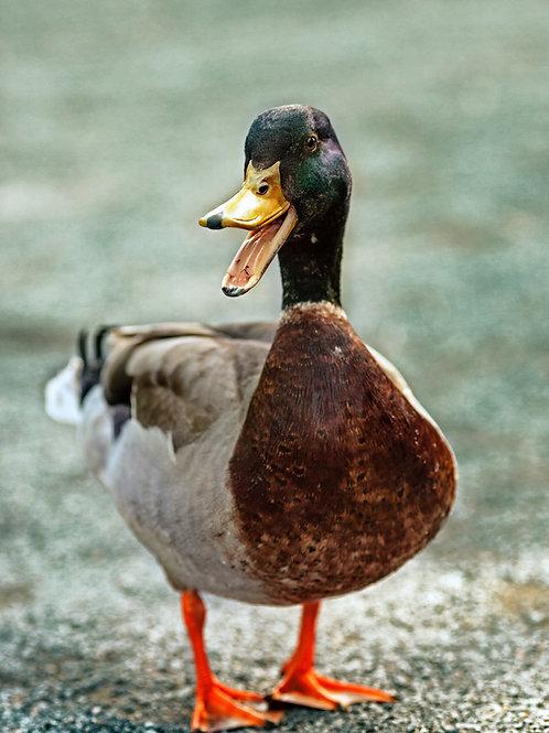Free Range Duck