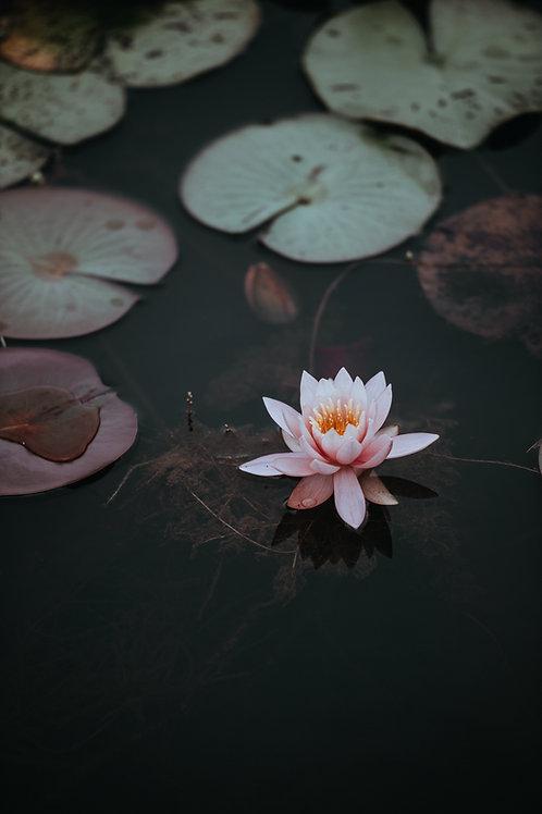 Camellia & Pink Lotus