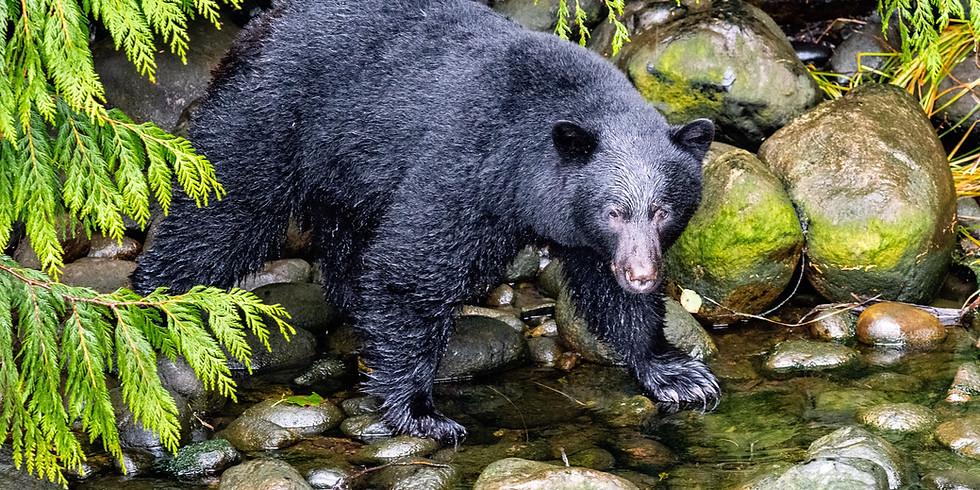 Black Bears in CT