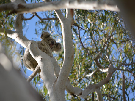 Before Koalas are Gone for Real…