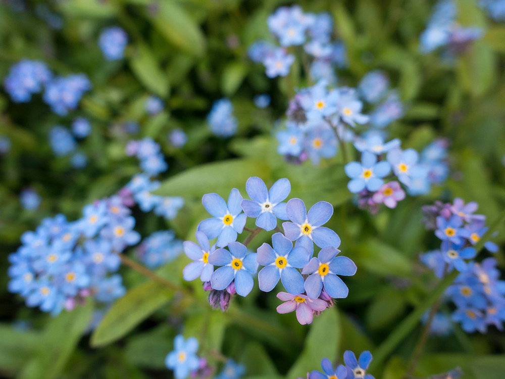 Forget-me-nots have some of the smallest pollen grains