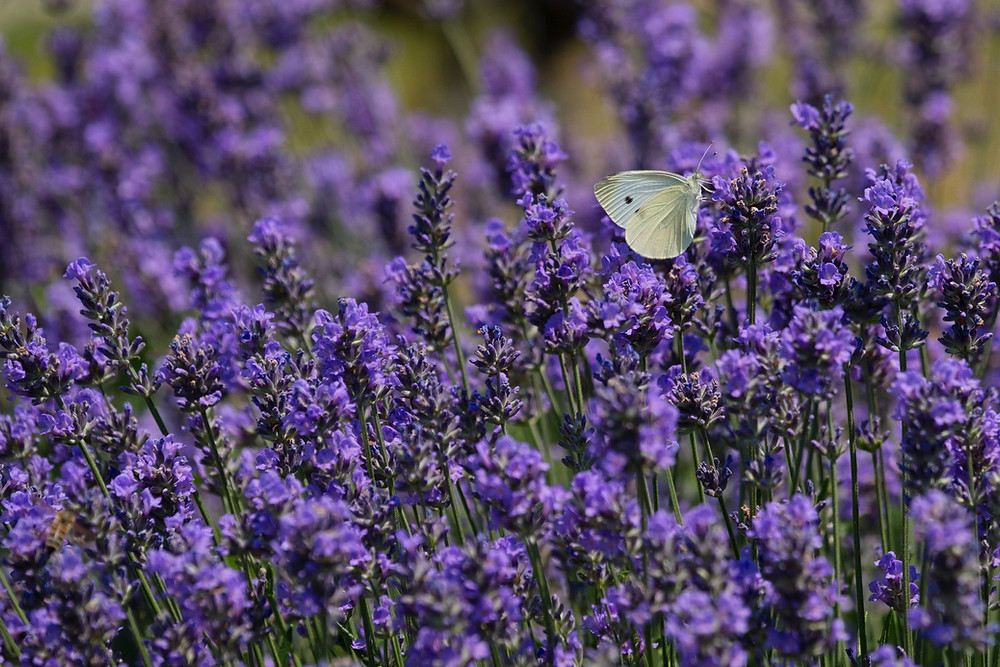 How Beautiful Lavender Flower Is Important In Our Daily Lives