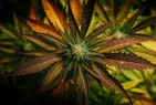 What are the main effects of Cannabis?