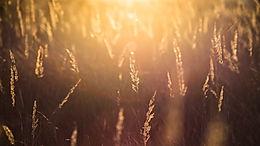 צמחים לסוסים - מה צריך לדעת על עשב זון?