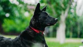 How to Identify and Treat CCL Injuries in Dogs